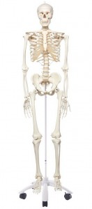 Plastic Human Skeleton Model 'Stan'