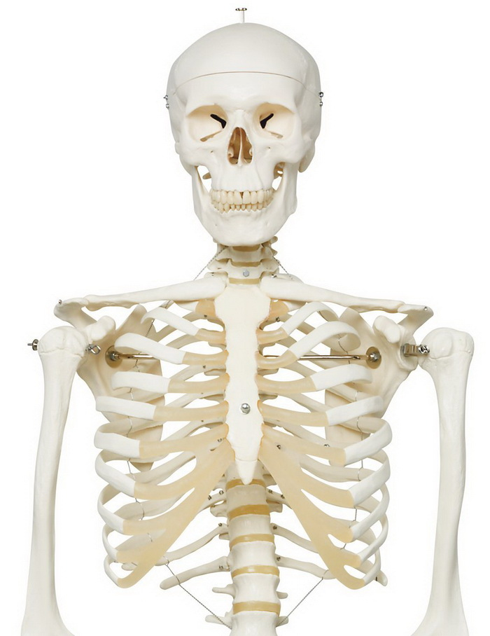 "3B Scientific A10 Plastic Human Skeleton Model ""Stan"" review"