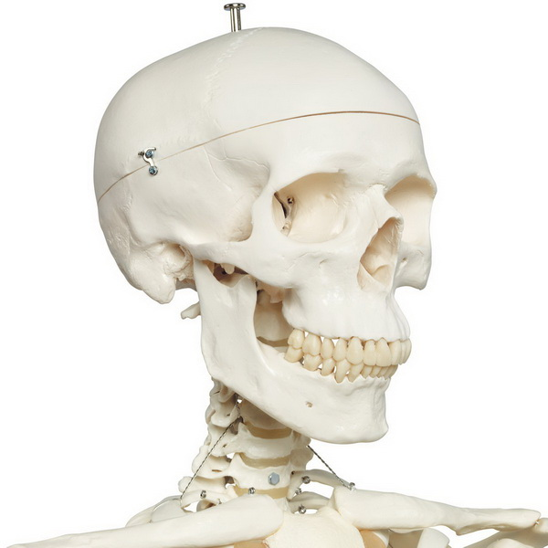 Plastic Human Skeleton Model